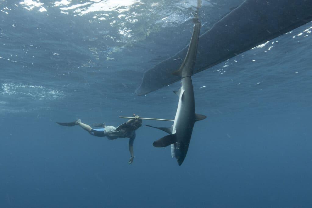 thresher shark, irwan hermawan
